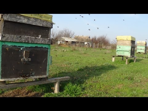 Весенний слёт пчелы на пасике