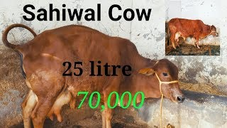 Sahiwal Cow NDRI Breed 25 litre at reasonable price @ 9416703366