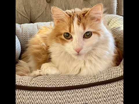 Sunshine, an adoptable Maine Coon Mix in Greenburgh, NY_image-1