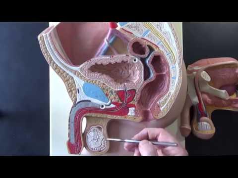 Come prepararsi per la prostata ultrasuoni