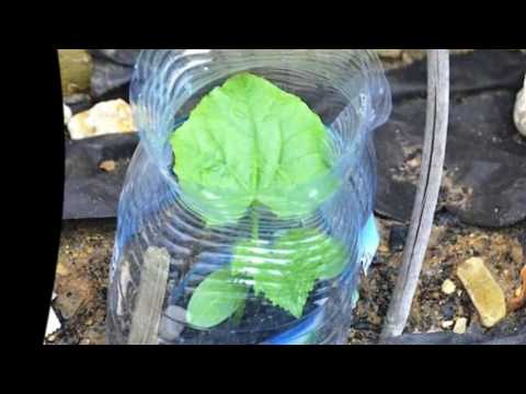 Огурцы в бутылках выращивание.Огурцы в пластиковой бутылке выращивание