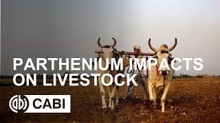 Parthenium impacts on livestock