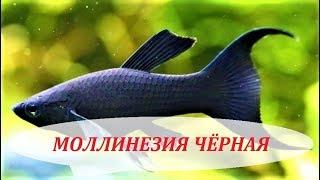 Температура для рыб гуппи и моллинезии