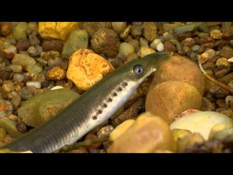 Bæklampret, flodlampret og havlamprettens ynglebiologi