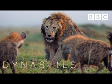 Hyena pack attacks lion | FULL CLIP - Dynasties