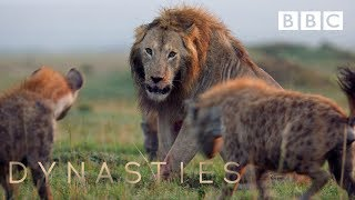 Hyena Pack Attacks Lion   FULL CLIP - Dynasties
