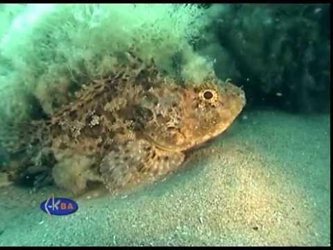 European black scorpionfish hunting crab. (Scorpaena porcus)