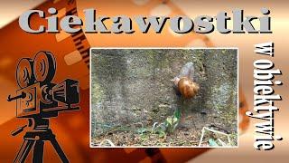Ślimak, ślimak pokaż rogi...