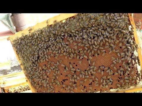 Сборка пчелиного гнезда в августе