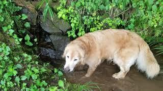 小雨の朝に畑を点検ゴールデンレトリバー台風15号の影響か?8月15日
