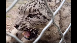 Captive snow leopard released into wild after recovery