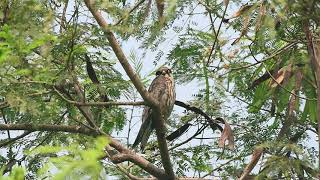 The long distance migrant - Eurasian Hobby - in Delhi NCR
