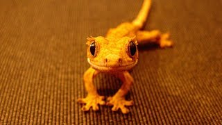 Like A BOSS - Funny And Adorable Leopard   Crested Geckos Compilation 2018