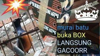 UNBOXING EPS.1 Murai Batu Gacor Harga MURAH BUKA LANGSUNG BUNYI