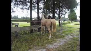 Amazing video of mare interacting with stallions for the first time!