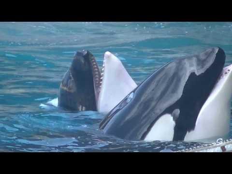 Killer Whale Show – September 14, 2018 – Marineland of France