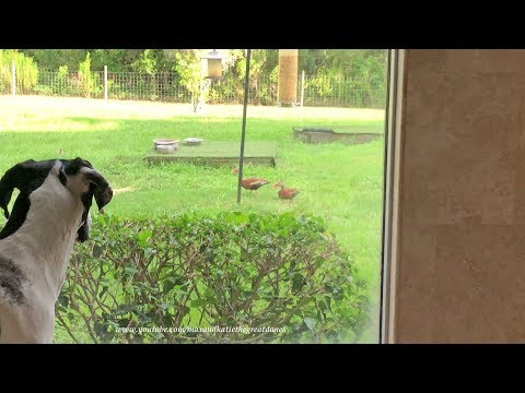 Great Dane Puppy Tries to Be Patient and Watch Black Bellied Ducks