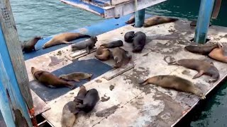 Galapagos sea lions hold epic burping contest on hijacked barge