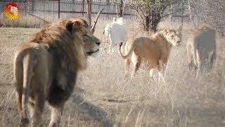 Разговоры Лолы с Марселем и целая компашка львов. Львы Тайгана. Lions are talking. Taigan