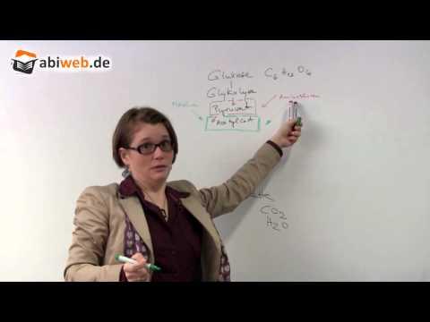 Abbauender Stoffwechsel - Abitur Biologie