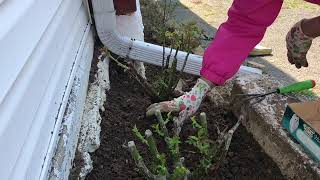 Planting Hybrid Tea Rose Bushes 2