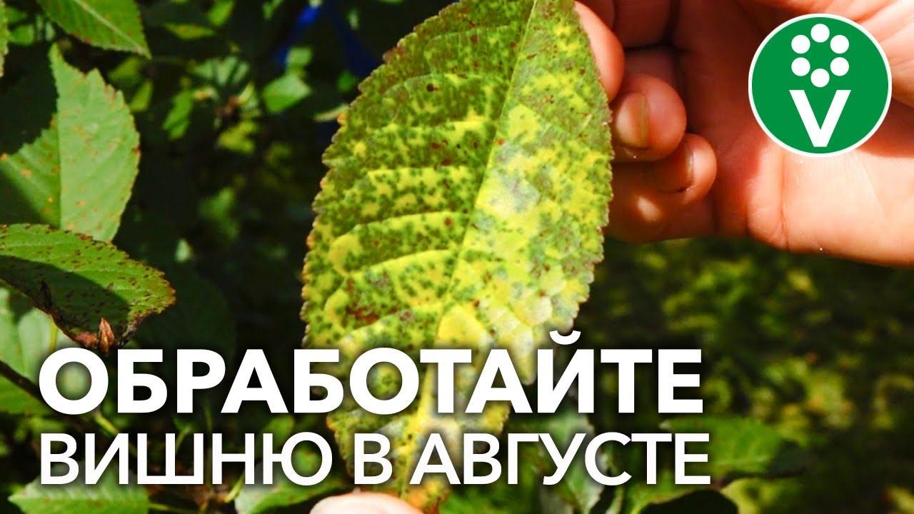 ЖЕЛТЕЮТ И ОПАДАЮТ ЛИСТЬЯ ВИШНИ? Обработайте вишни от опасной болезни