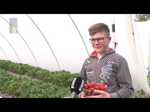 Prve domaće jagode iz plastenika