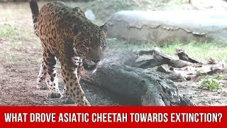 What Drove The Asiatic Cheetah Towards Extinction?