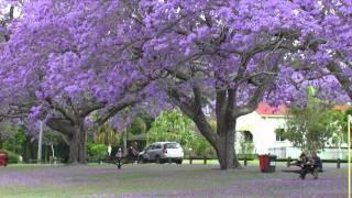 Jacaranda Festival in Australia