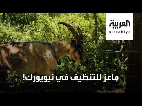 العرب اليوم - شاهد: نيويورك تستعين بالماعز لتنظيف الحدائق
