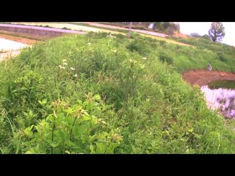 オオルリシジミの産卵と飛翔(ハイスピード動画)