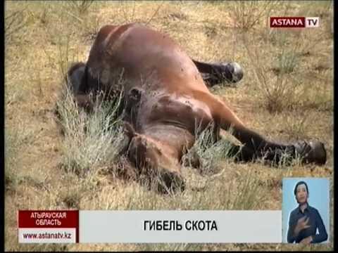 , title : 'В Атырау массово гибнет домашний скот