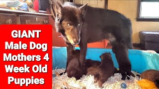 GIANT Male Dog Mothers His 4 Week Old Puppies - WARNING - Extreme Cuteness!!