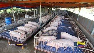 Tamang pakain sa baboy (Grower stage) | Alagang B-MEG TV Ep 3 Part 1