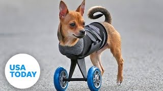 This two-legged dog's wheels are cooler than yours! | Animalkind