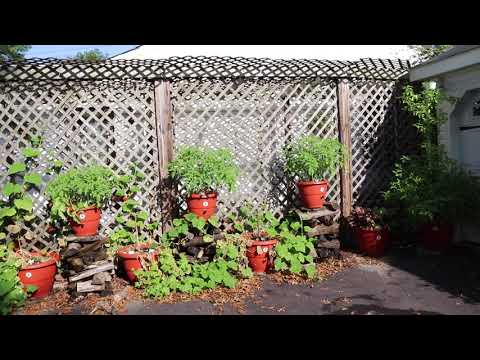 , title : 'Siberian Tomato plants in our Self-growing planter