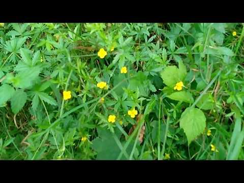 Зелёная аптека - Лапчатка прямостоячая (Калган) - лучшее средство от поноса