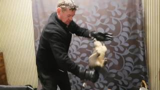 Removing a Possum from the house.