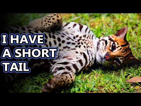 Ocelots - Animal Fact Files thumbnail