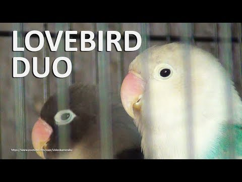 2 Hour of Lovebirds Chirping and Singing Sounds