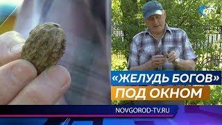 Новгородец Владимир Янушко вырастил грецкий орех и уже собирает урожай