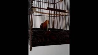 Burung Anis Merah Juara 1 Nasional Teler
