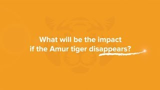 What will be the impact if the Amur tiger disappears?