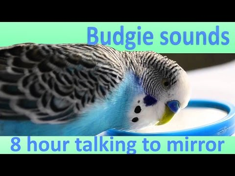 8 Hour Budgie Talking With Mirror Sounds