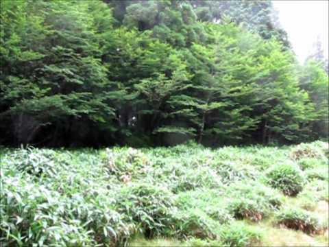 愛媛県 石鎚山系 笹倉湿原 (さぞうしつげん)ウマスギゴケ