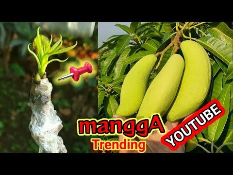 HOW TO/CARA BUAT MANGGA KERDIL CEPAT BERBUAH/MANGO GRAFTING TREE