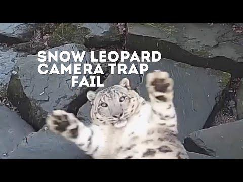 Lumileopardi tajuaa että sitä kuvataan uudella kameralla – Mahtava reaktio