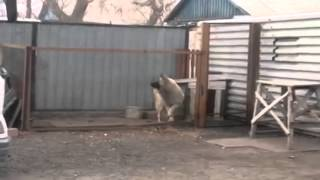 Смотреть онлайн Собака танцует под музыку модерн токинг