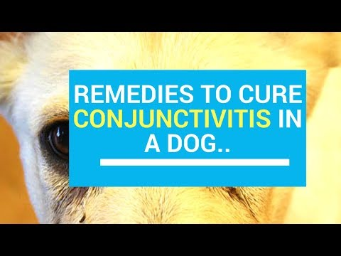 Treatments And Home Remedies To Cure Conjunctivitis In A Dog