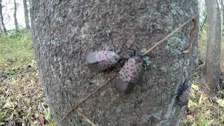 Invasive Spotted Lanternfly On Tree Of Heaven In Bethlehem, PA